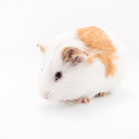 sniffle: Tame curios pet isolated on white background. Cute white and brown guinea pig