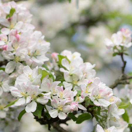 tree fruit: Blossoming apple tree twig with white flowers. Spring fruit tree blooming background