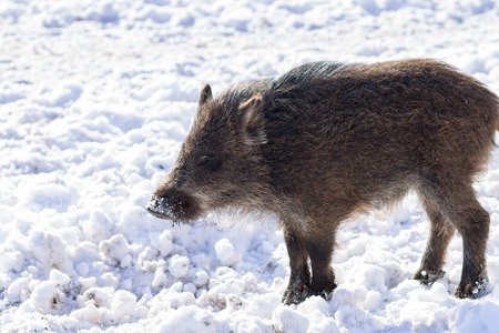 omnivores: Pig wild boar looking for food in snow. Wildlife animal background