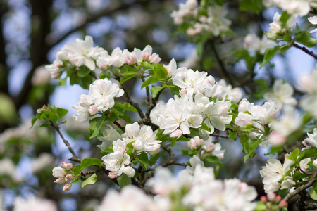 feuille arbre: Blossoming apple tree twig with white flowers. Spring fruit tree blooming background