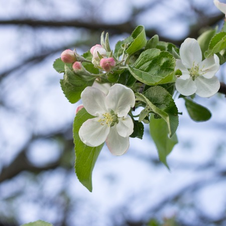 beautiful tree: Blossoming apple tree twig with white flowers. Spring fruit tree blooming background