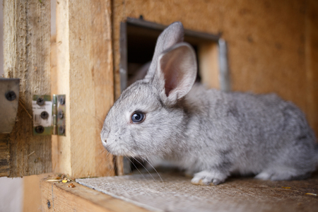 hutch: Adorable young bunny in a big wood cage at farm house. Curious small gray rabbit in hutch Stock Photo