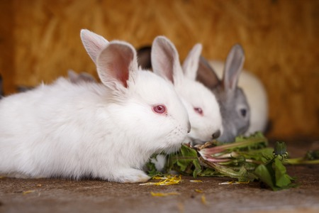 reproducing: Small white and gray rabbits feed grass in a hutch. Cute bunnies eat fresh grass in a cage
