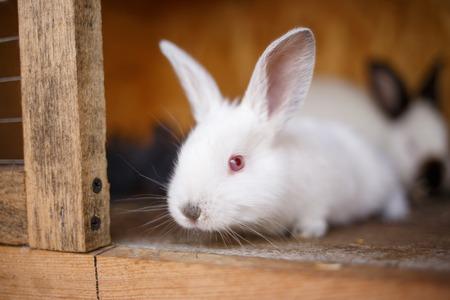 rabbit in cage: Adorable young white bunny in a big wood cage at farm house. Curious small rabbit in a hutch