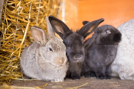 reproducing: Herd of small gray bunnies in the hutch with pale of hay. Group of young rabbits in the cage Stock Photo