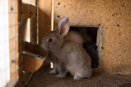 Small furry bunny feeding in farm hutch. Young rabbit eating grains in the cage