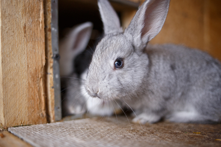 rabbit in cage: Adorable young bunny in a big wood cage at farm house. Curious small gray rabbit in hutch Stock Photo