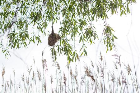 blanketed: Penduline tit nest dangles over water. Remiz pendulinus. Stock Photo