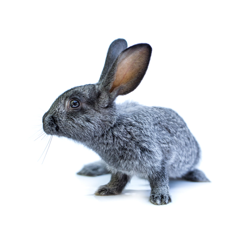 european rabbit: Young adorable european grey rabbit on white background. Cute bunny isolated on white backdrop Stock Photo