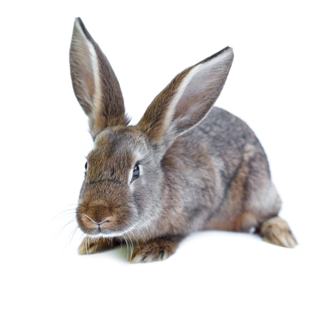 european rabbit: Young adorable european brown rabbit on white background. Cute bunny isolated on white backdrop