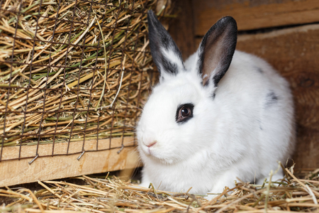 reproducing: Cute white bunny sitting near basket filled with hay in a cage on farmyard Stock Photo