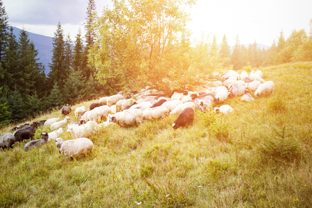 Sheep grazing on mountain pasture
