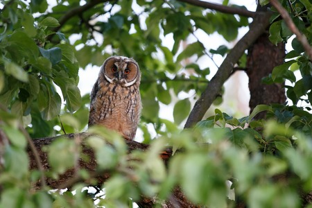 Owl sitting on branch of apple tree in the evening Stock Photo