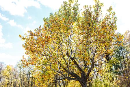 화창한 하늘을 노란색 단풍에 오래 된 거 대 한 비행기 나무. 가을 공원에 들쭉날쭉 한 나무