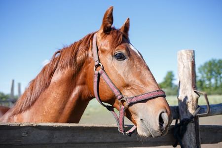 Sorrel horse looking out over fence of paddock. Stock Photo