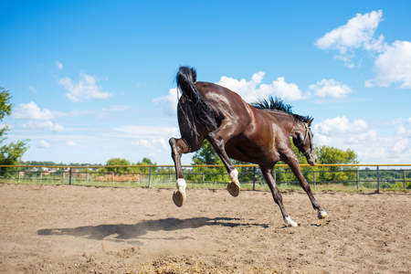 Young horse galloping in training paddock at sunny day. Equestrian sport background Stock Photo
