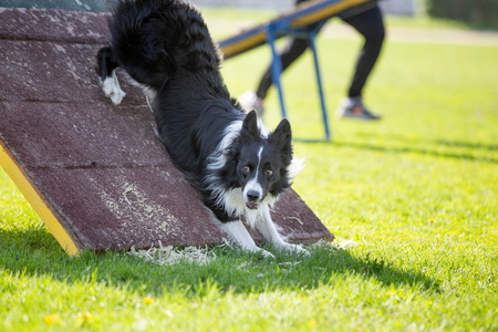 Border Collie dog in agility trial