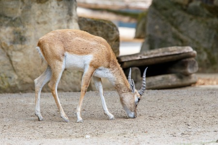Indian antelope Blackbuck in the zoo