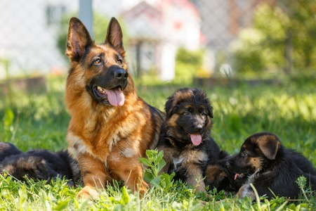 German shepherd with its puppies resting on grass Stock Photo