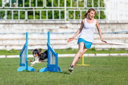 Spaniel jumping over hurdles in agility trial