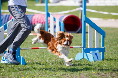 Dog with handler vaulting hurdle in agility trial Banque d'images - 105525538