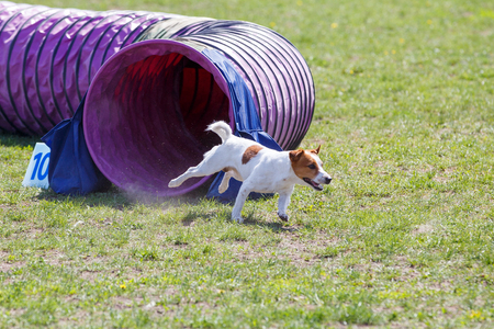 Small dog running out from tunnel in agility trial Archivio Fotografico