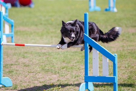 Dog jumping over hurdle in agility competition Banque d'images
