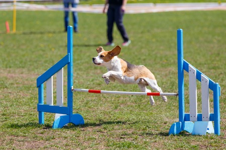 Dog jumping over hurdle in agility competition Stock Photo