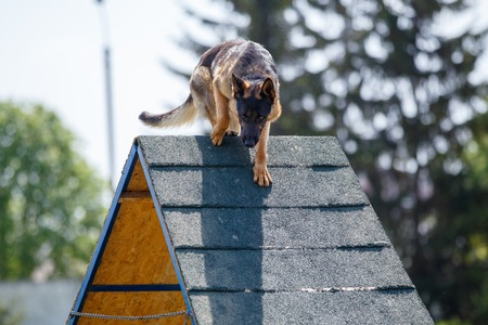 Dog goes down from A-frame in agility competition Foto de archivo - 105525615