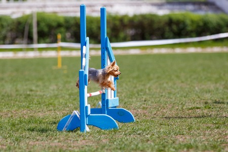 Dog jumping over hurdle in agility competition Stockfoto