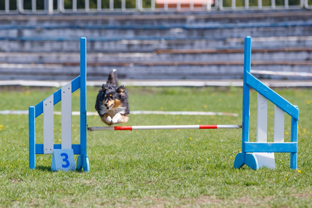 Dog jumping over hurdle in agility competition Фото со стока