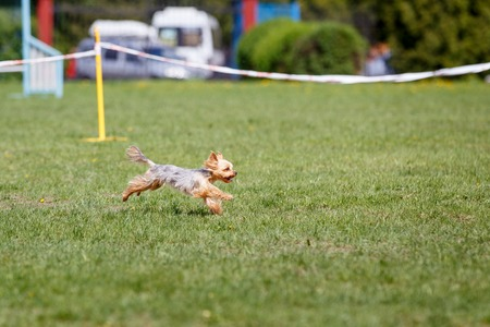 Running dog on its course in agility competition