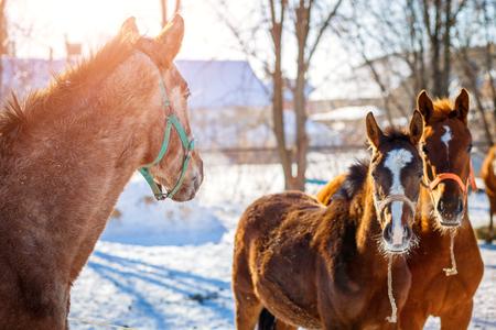 Sorrel foals with horses in frosty winter morning Foto de archivo