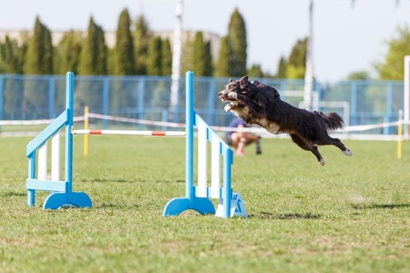Dog jumping over hurdle in agility competition Reklamní fotografie