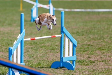 Whippet in jump over the obstacle in dog agility test