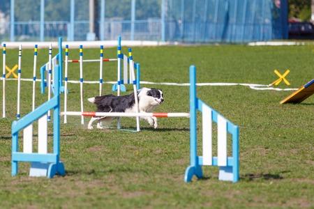 Hund läuft seinen Kurs beim Agility-Sportwettbewerb für Hunde