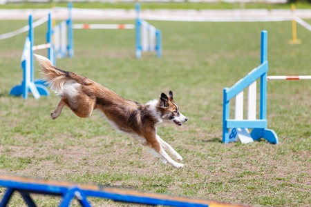 Dog running its course on dog agility sport competition