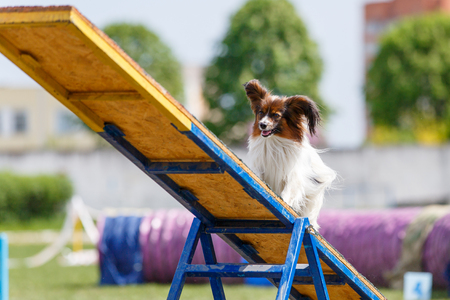 Papillon on the teeter-totter on dog agility sport competition