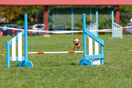 Small cute dog jumping over the obstacle on dog agility sport competition