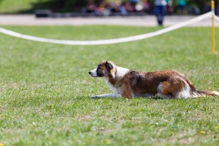 Chien en attente de commencer son cours dans la compétition sportive d'agilité de chien