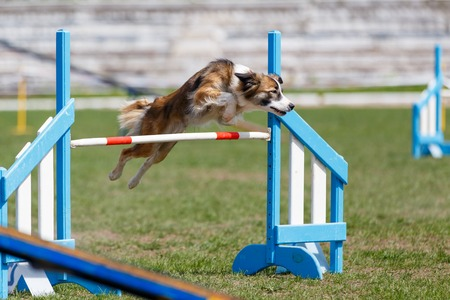 Border Collie jumping over the obstacle on dog agility sport competition