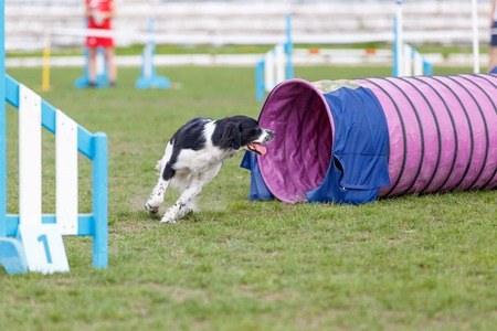 Espanol breton running out from tube on dog agility test.