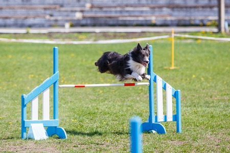 Border Collie jumping over the obstacle on dog agility sport competition.