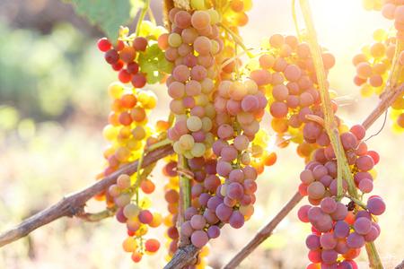Ripe purple grapes on vines in sunbeams.