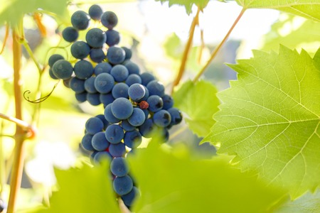 Bunch of ripe red grapes on the vine in ligths of sun Stock Photo
