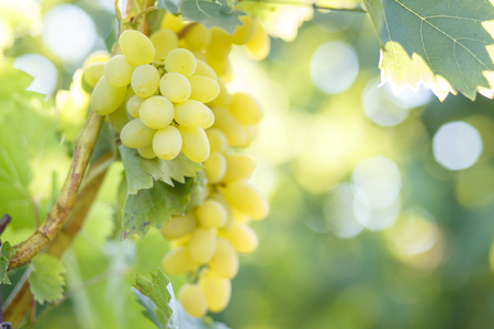 Ripe juicy white grapes on vine in the garden. Sunny vineyard grapes background