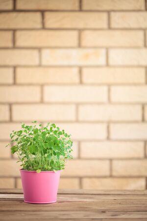 oregano plant: A potted oregano herb plant. Stock Photo