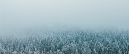 Pine forest in winter. Panoramic image. Washed colors.