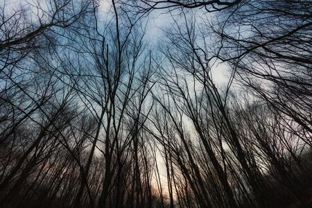Winter Forest trees  in dawn. Horizontal image. Reklamní fotografie