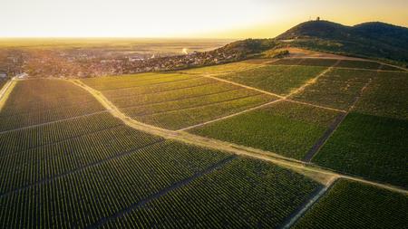 Beautiful grapevine field beneath hill in sunset.Vrsac city. Horizontal image. Landscape. Imagens